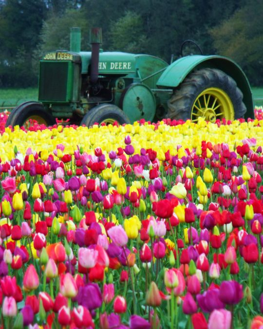 a tractor sits among rows of blooming tulips on a farm