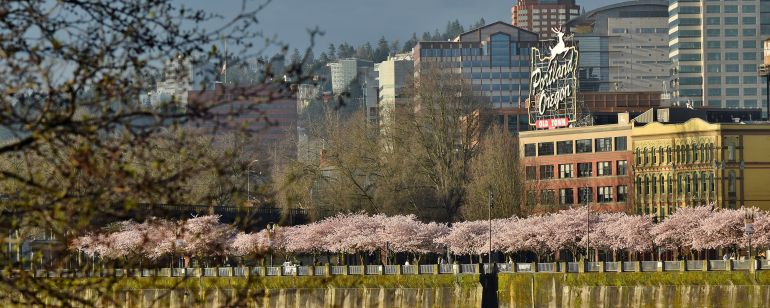 Spring cherry blossoms along Waterfront Park