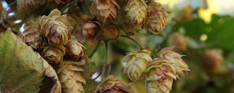 fresh hops on the vine