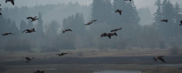 a flock of Canadian geese take flight at the Tualatin River National Wildlife Refuge