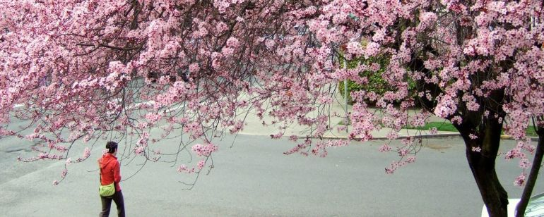 person walking under trees full of cherry blossoms at Waterfront Park