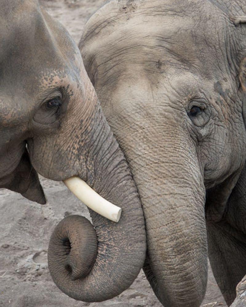 two elephants touching trunks
