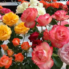 Portland Rose Society Annual Spring Rose Show