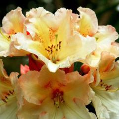 Rhododendron & Daffodil Show & Sale