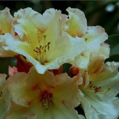 Rhododendron + Daffodil Show and Sale
