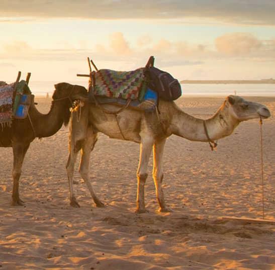 Enjoy Camel Safari in Los Cabos