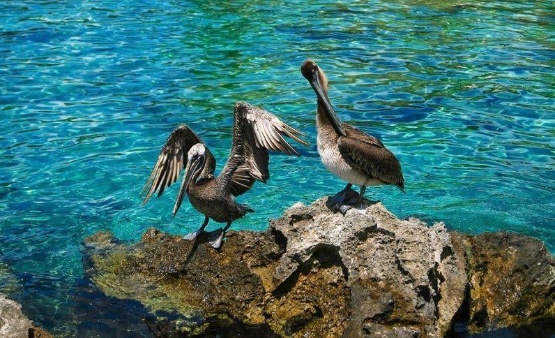 Pelícanos en Xcaret