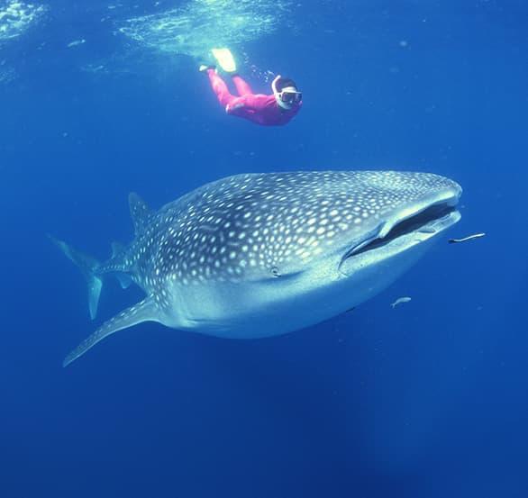 Nadar con Tiburones Ballena en Holbox