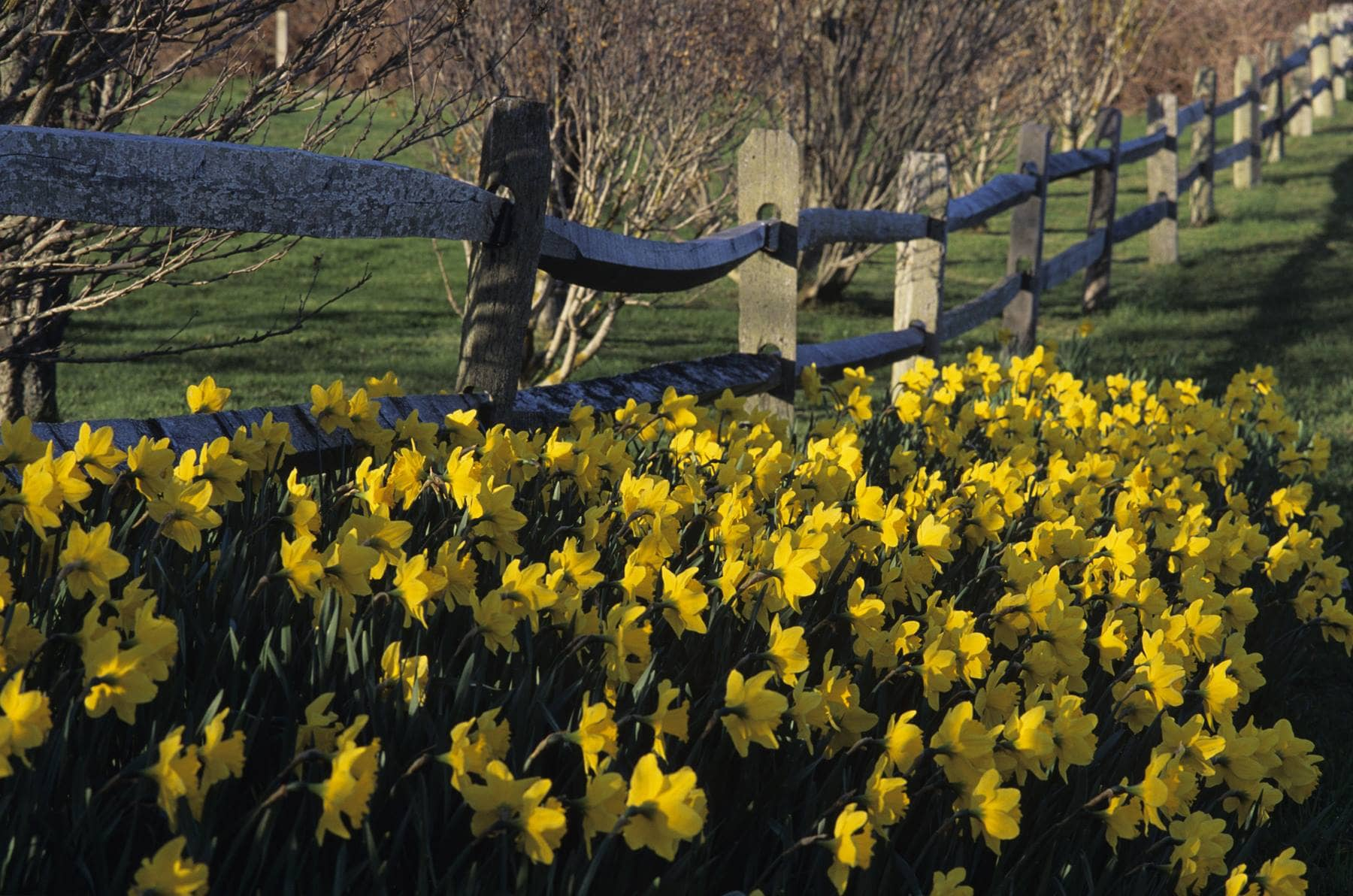 Daffodils and Fence
