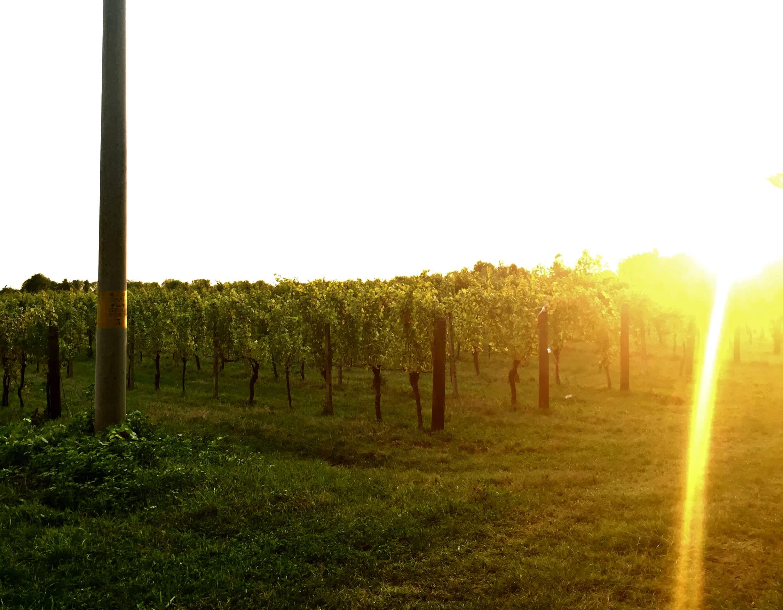 Jermann Vineyard