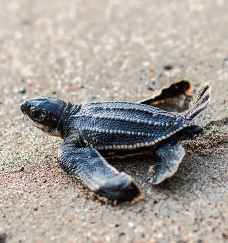 Liberación de tortugas marinas de julio a diciembre