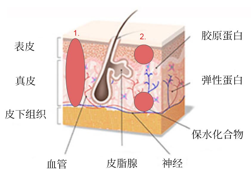 epidermis illustration chinese