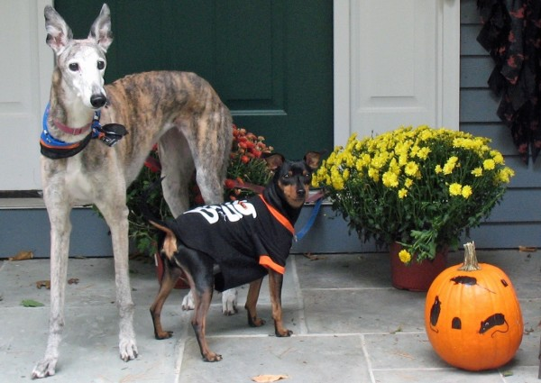 Evie the greyhound and Rucker the minpin