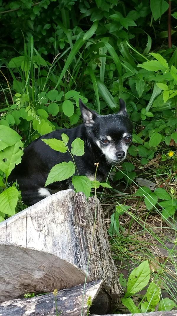 Mugsy Chihuahua Blog post 1