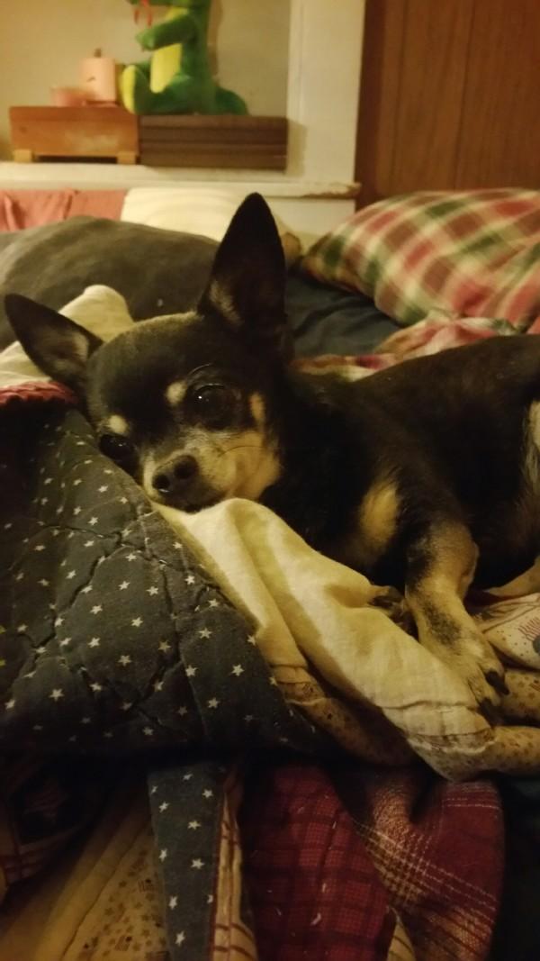 Mugsy Chihuahua Blog post 2