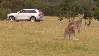 Volvo To Develop Kangaroo Crash Avoidance Technology