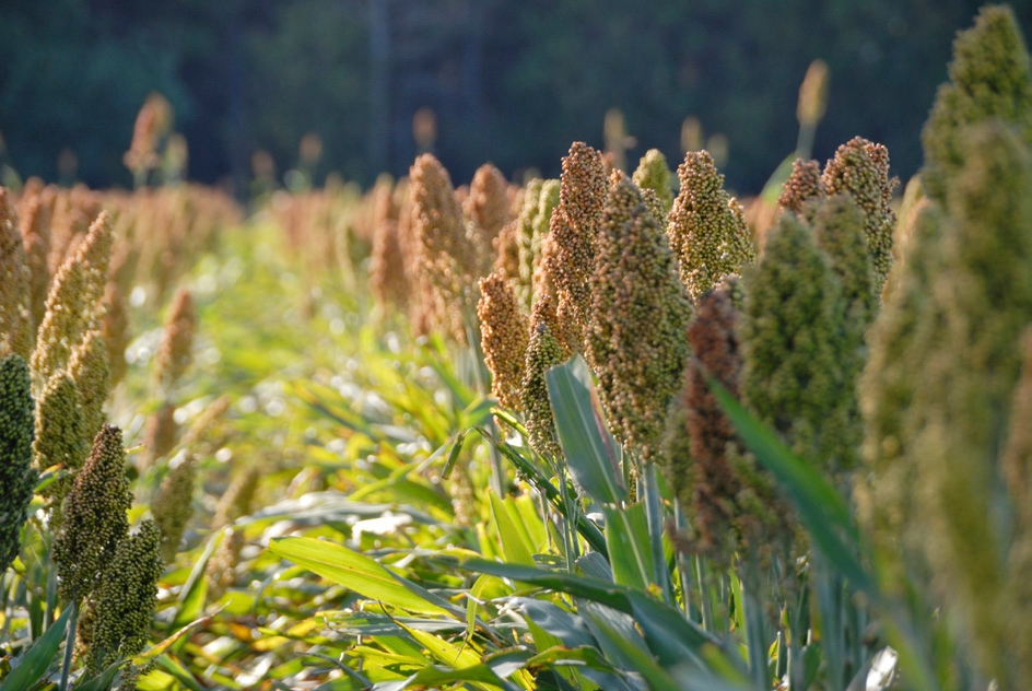 Sorghum used for ethanol