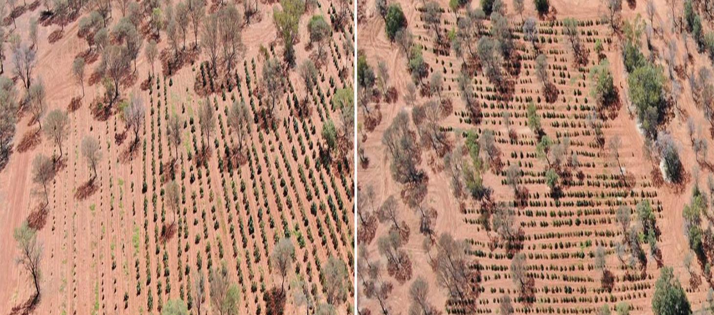 Cu ajutorul dronelelor au descoperit o plantatie de cannabis in valoare de 6 milioane de dolari