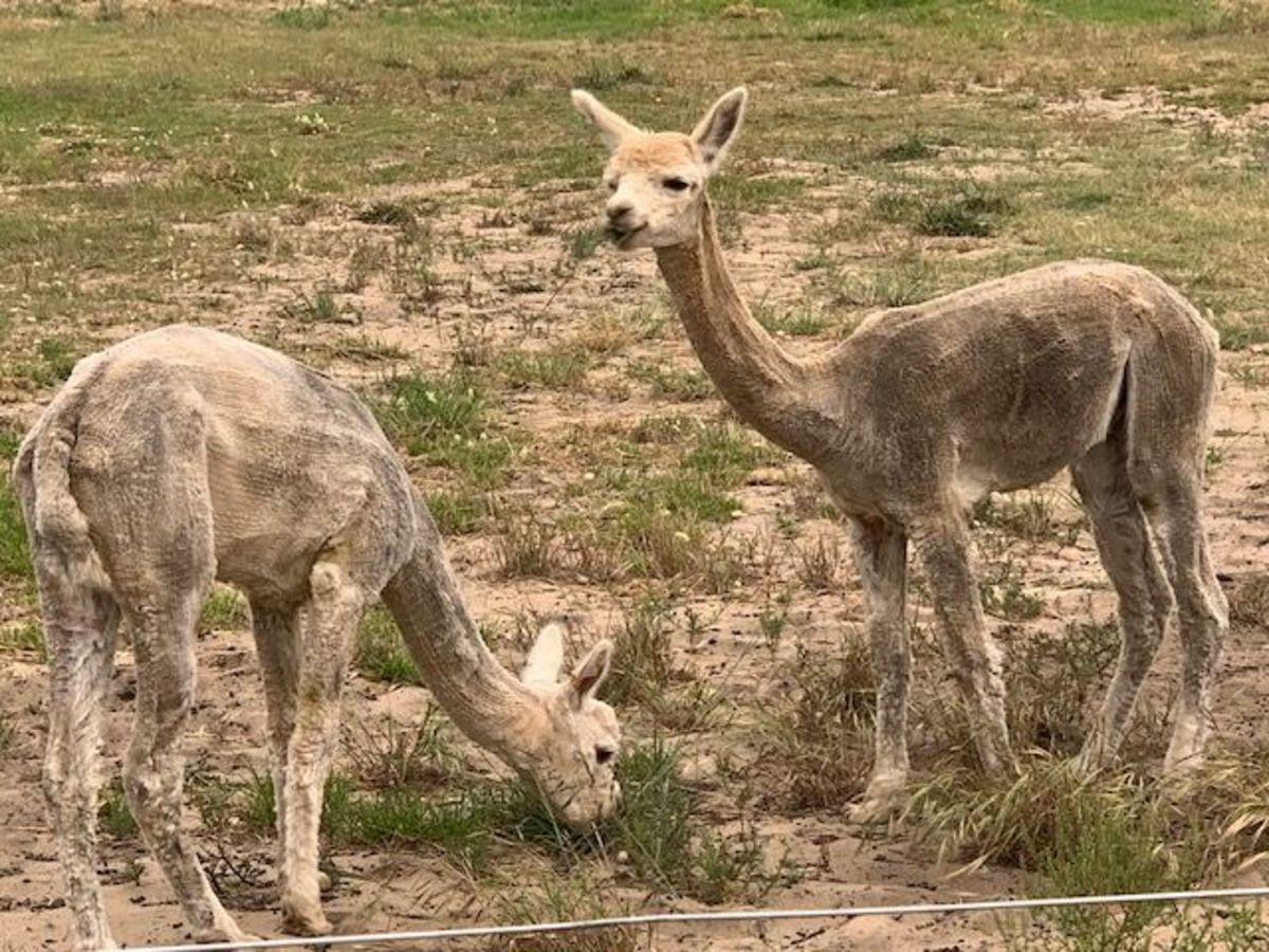 Alpacas at the mini farm