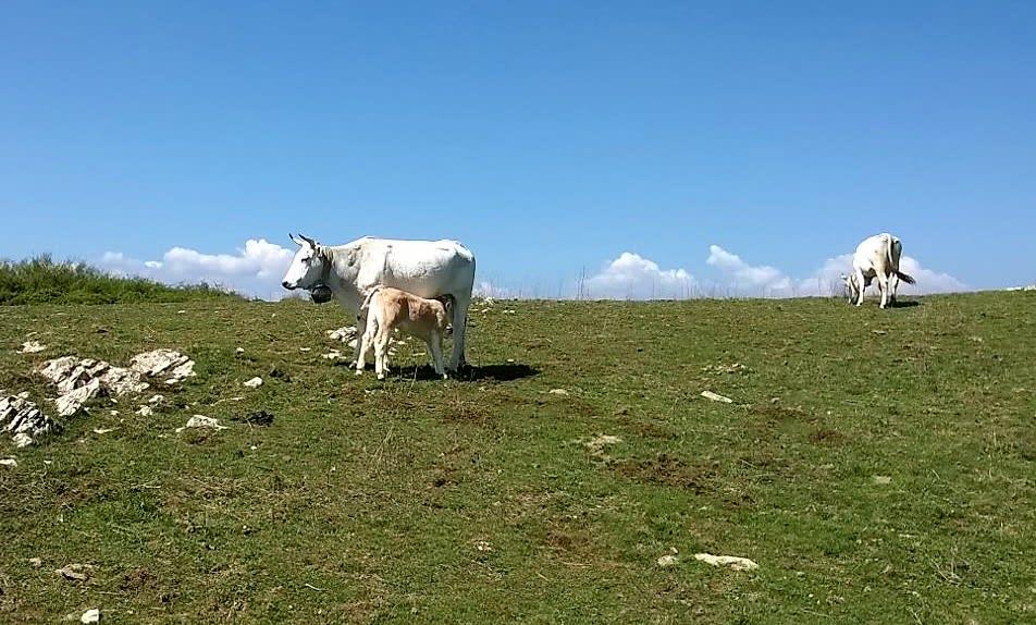 Mucche di razza Calvana al pascolo