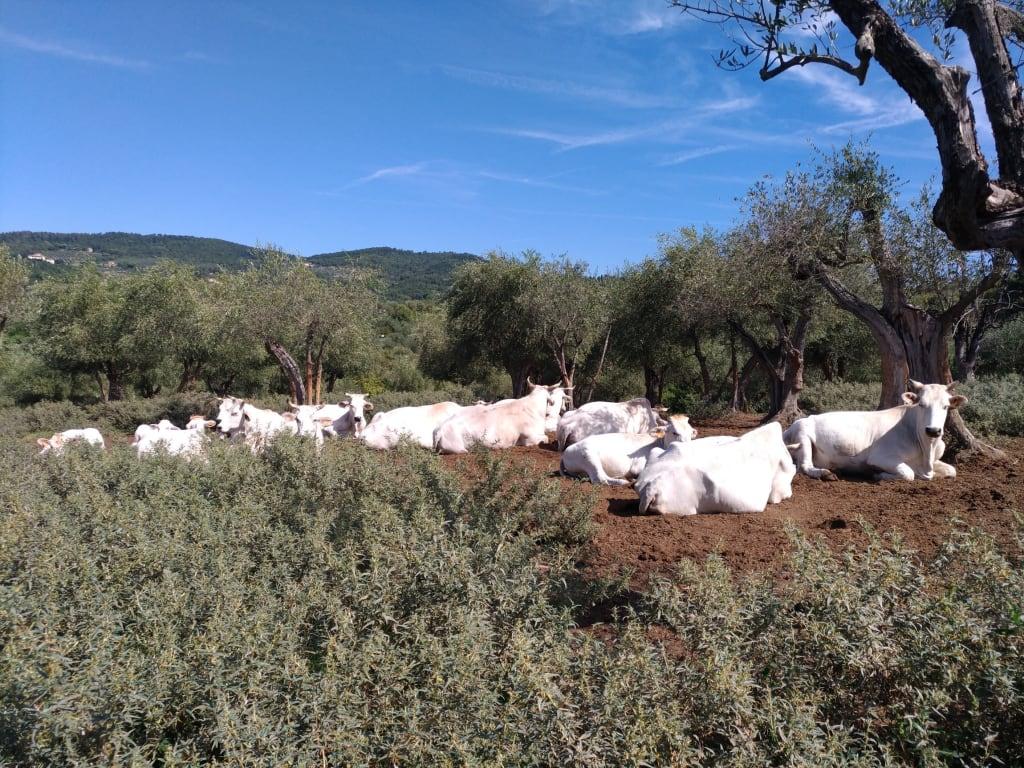 Mucche di razza calvana al pascolo sotto gli ulivi