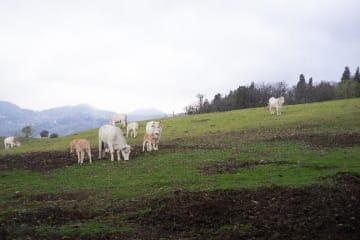 Immagine con mucche di razza calvana al pascolo