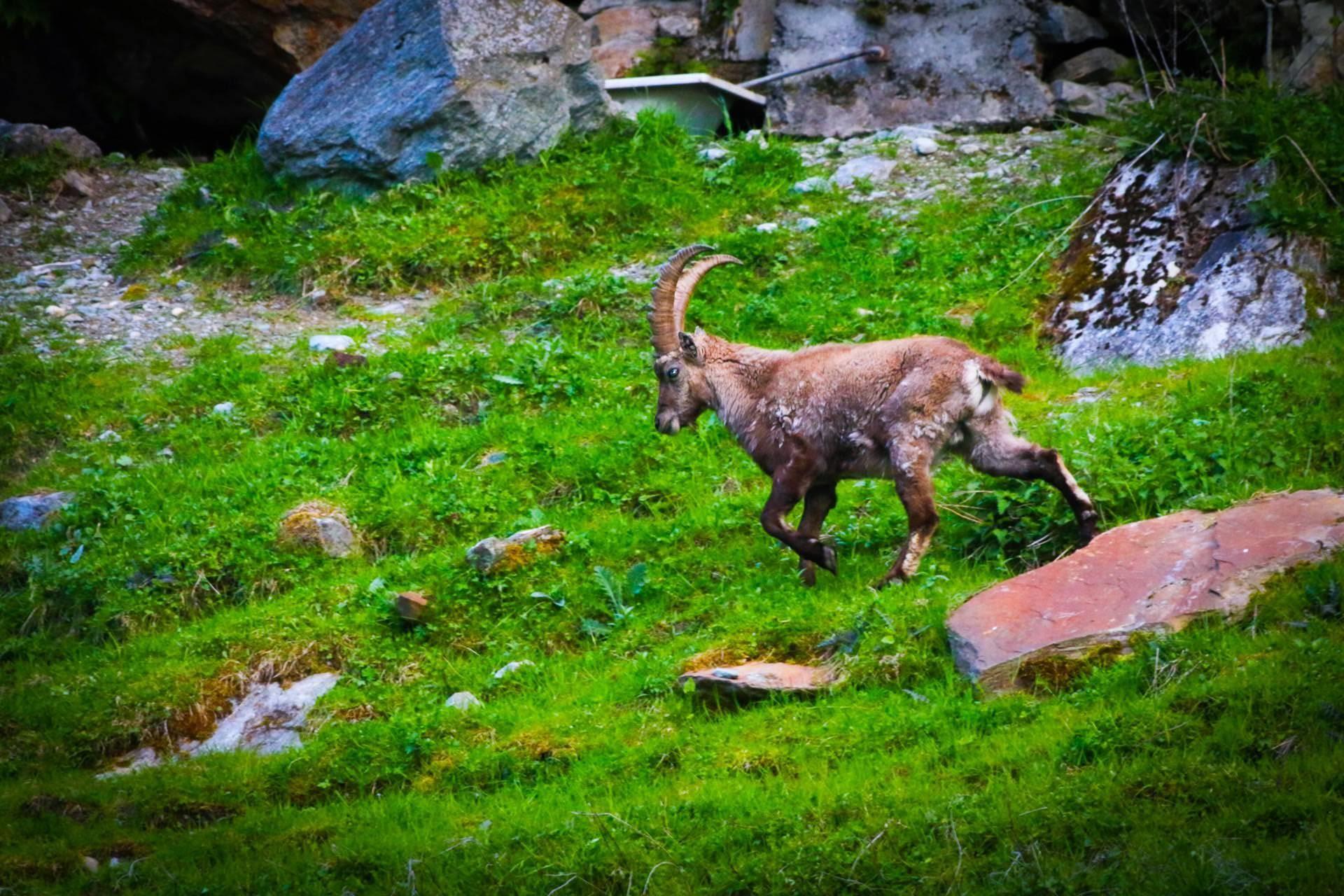 capricorn near Monte Rosa - Monte Rosa
