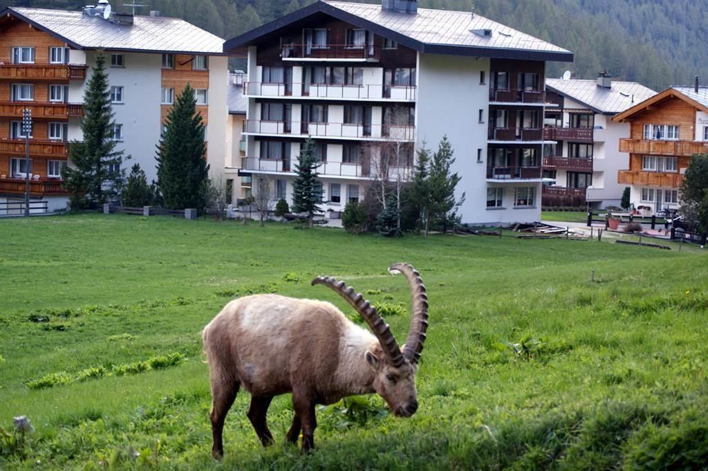 Steinbock im Dorf