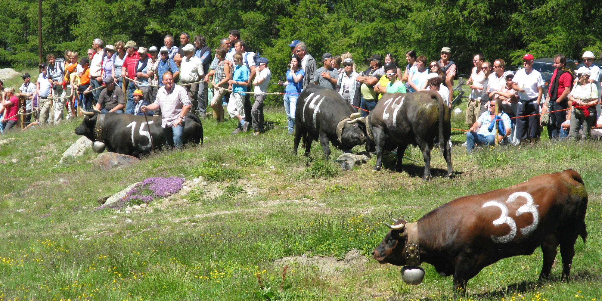 Cow fights in the Free Republic of Holidays Saas-Fee