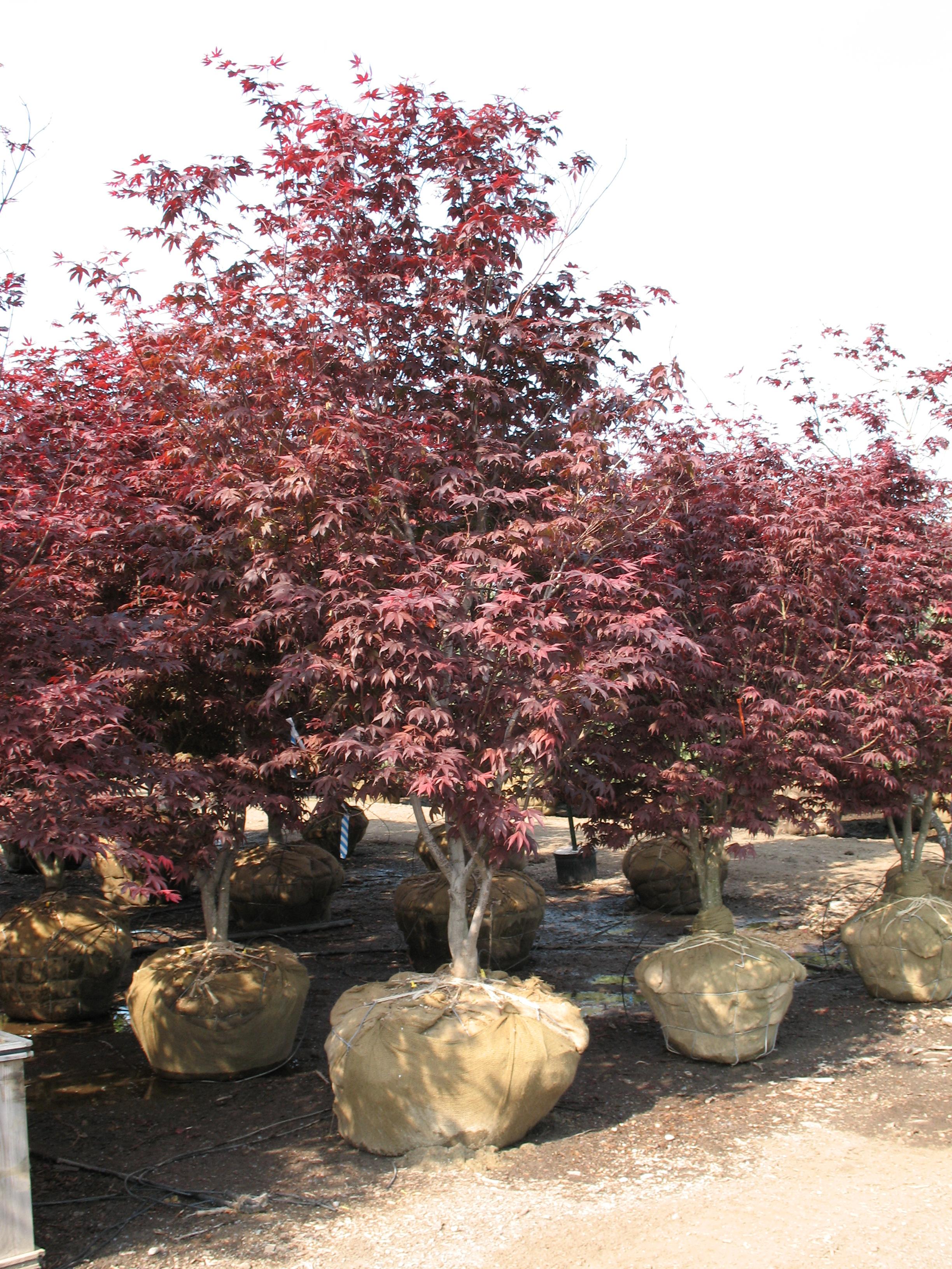 Landscapehub Plant Information For Acer Palmatum Bloodgood