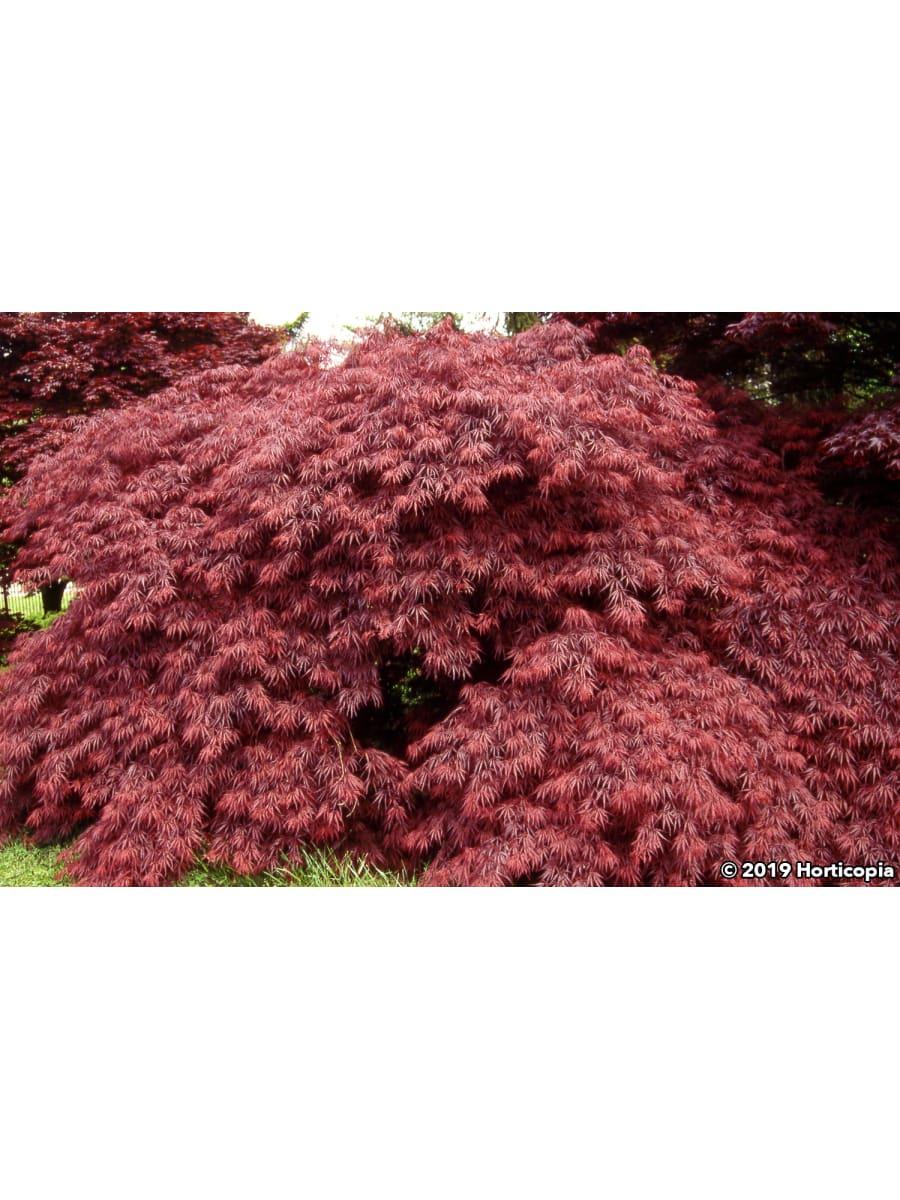 Landscapehub Plant Information For Acer Palmatum Var Dissectum