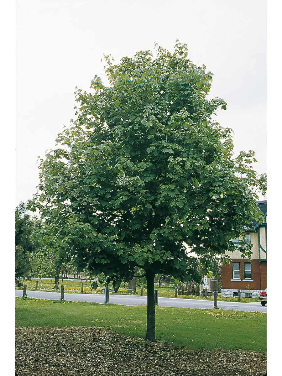Landscapehub Nursery Availability For Goodmark Nurseries Goodmark