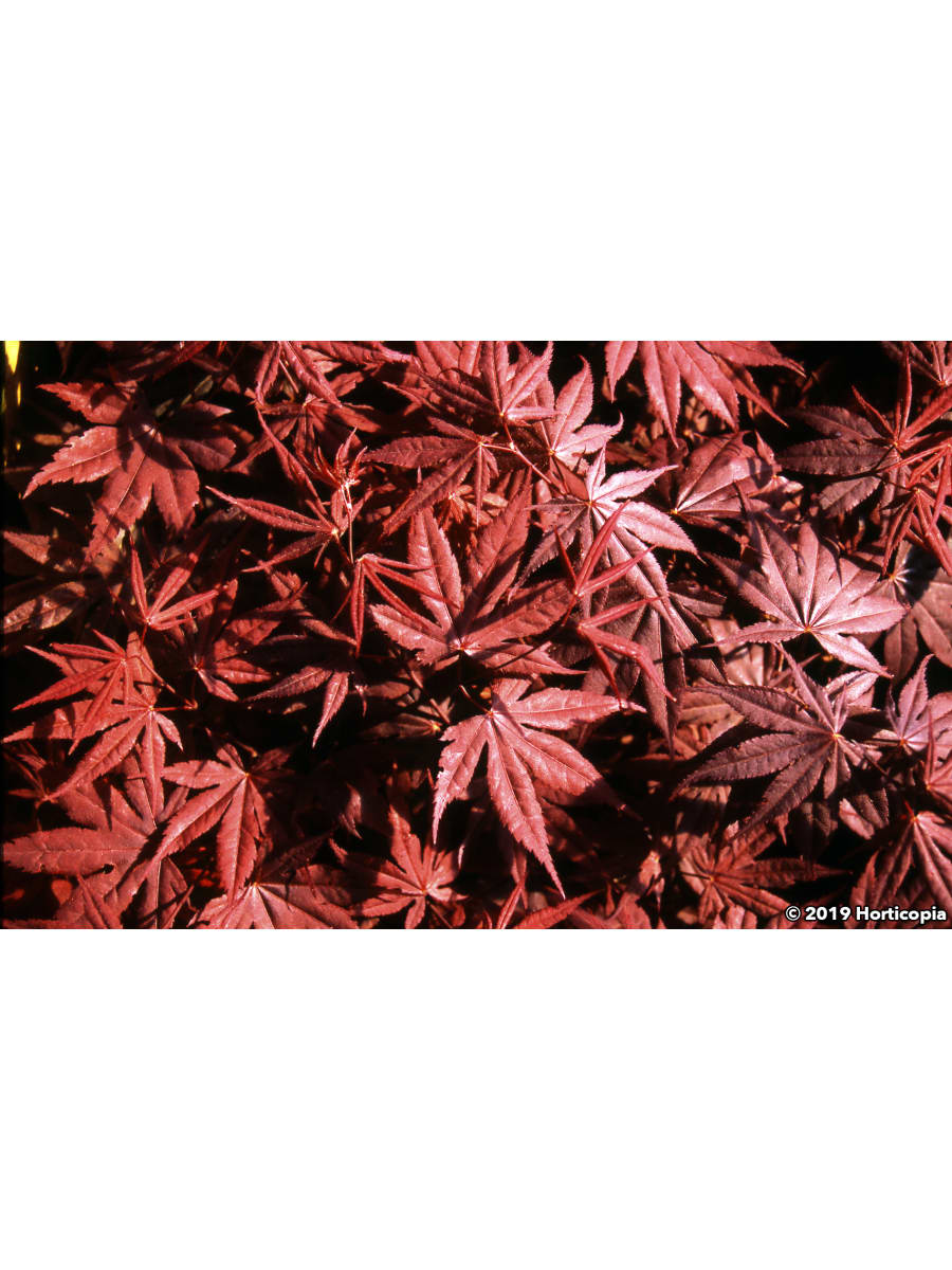 Landscapehub Plant Information For Acer Palmatum Red Emperor