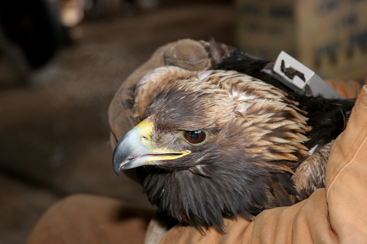 Telemetered Golden Eagle - Photo by Helen McLean