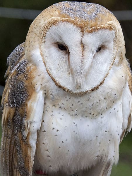 BarnOwl, Creative Commons, Tony Hisgett