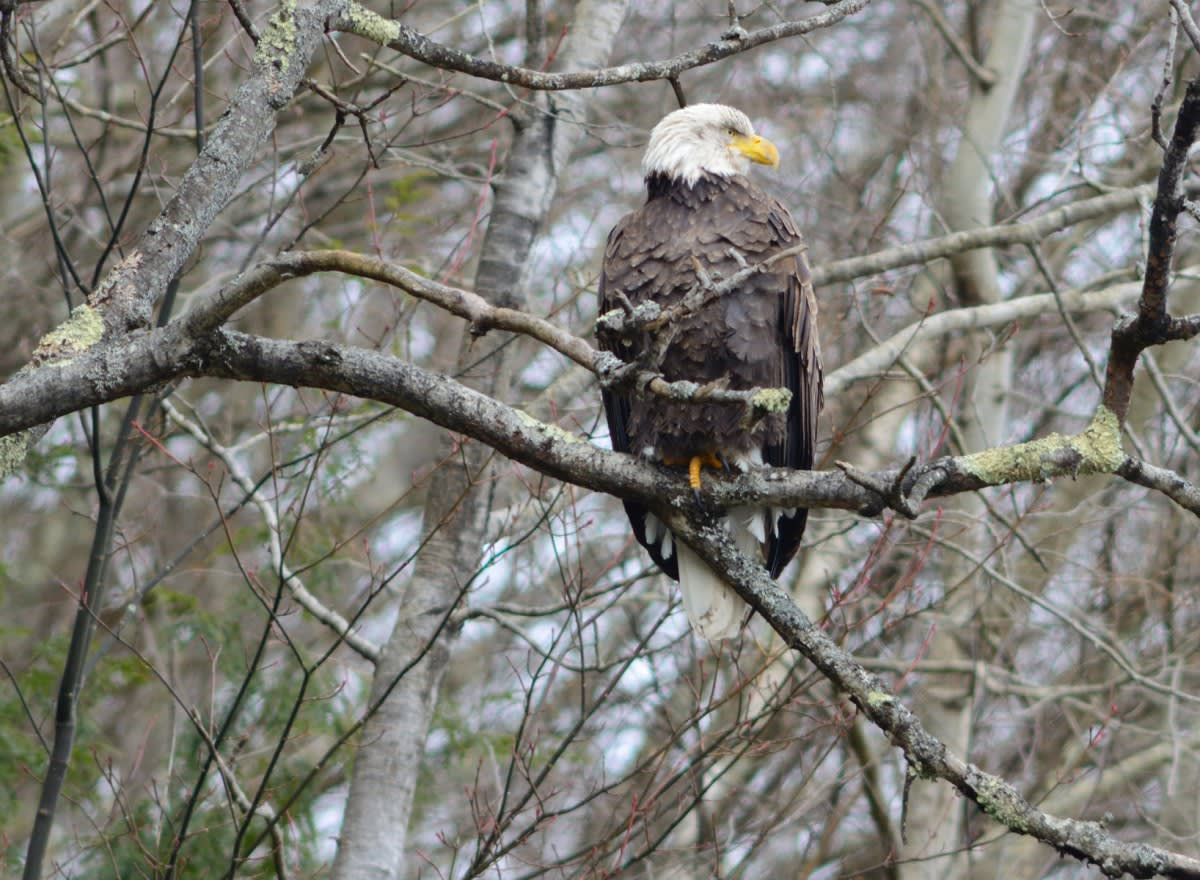 Bald Eagle, Cannonsville NY, Rod Sutton