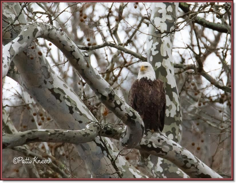 <em><center>Bald eagle, Photo by Patti Kneer.</center></em>