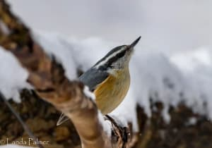 Red-breasted nuthatch; Photo by Landa Palmer.