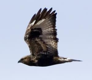rough-legged-hawk-photo-by-doas