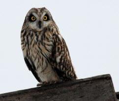 Short-eared Owl, Photo by Dave Kiehm