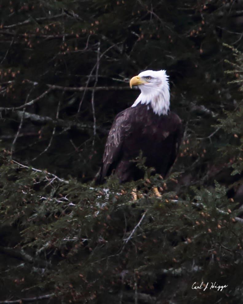 Bald Eagle, Photo by Carl Higgs