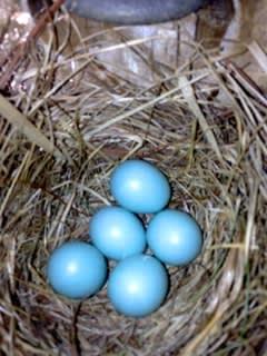 5 BB eggs in box 10 5_7_13