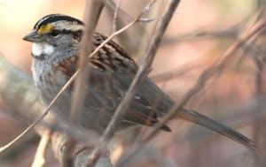 white throated sparrow - FWS
