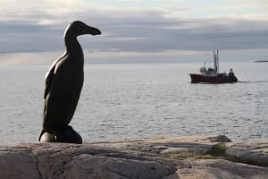 Lost Bird Project - Great Auk