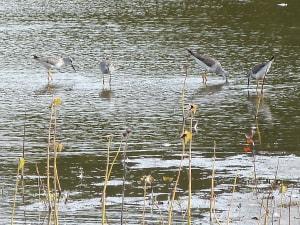 Lesser yellowlegs; Photo by Jennifer Hyypio