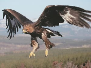 http://images5.fanpop.com/image/photos/29100000/Beautiful-Golden-Eagle-In-Flight-golden-eagles-29183845-1024-768.jpg