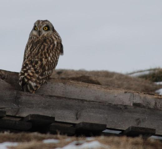 Short-eared Owl (Photo by Dave Kiehm)