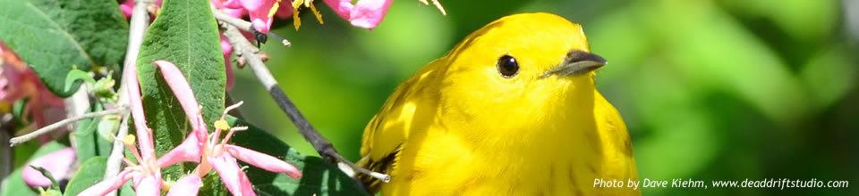 FrontPageShowcase-DKiehm-YellowWarbler