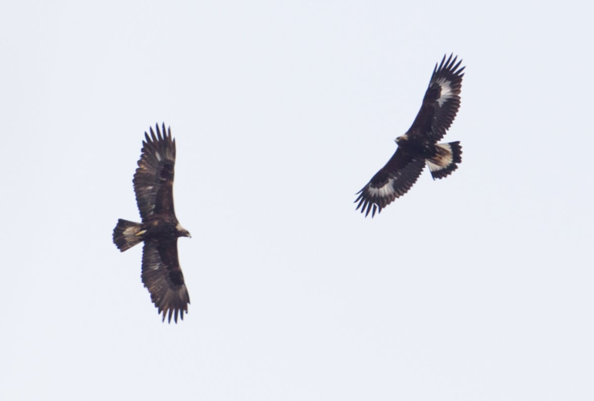 Golden Eagles over Sanford, NY; Photo by Kyle Dudgeon