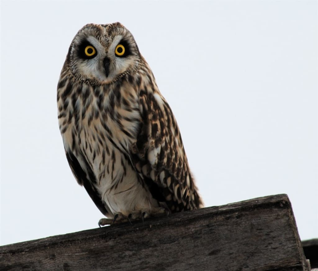 Short-eared owl; Photo by Dave Kiehm, Deaddrift Studios